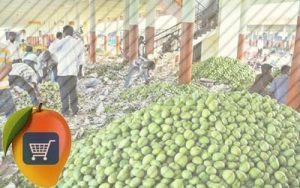 Mango wholesale buyers