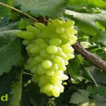 Iran grapes production